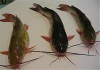 详解钓黄颡鱼用什么线组如何做窝