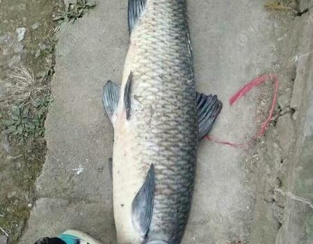 与巨物的约会 自制饵料钓青鱼